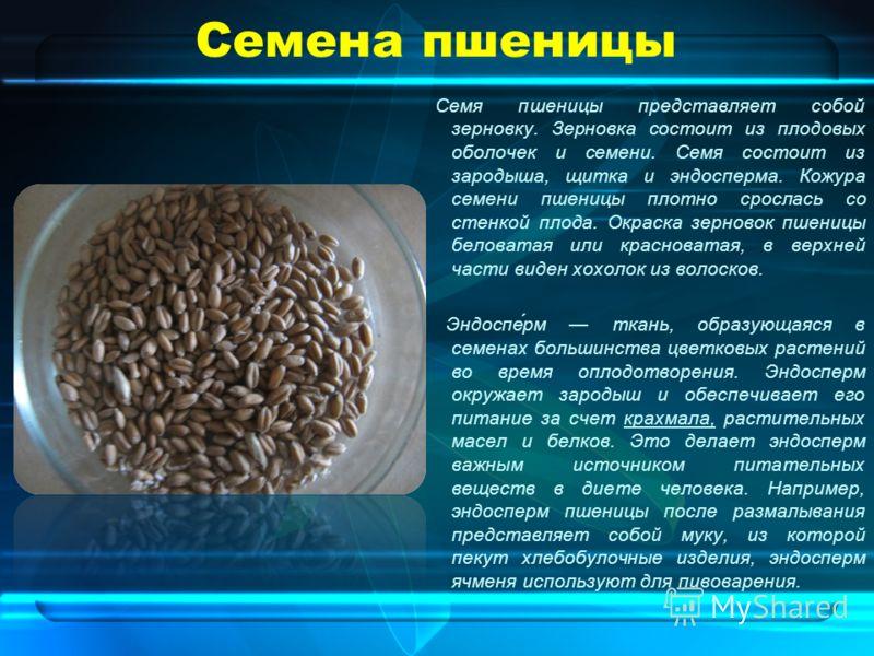 Семена пшеницы Семя пшеницы представляет собой зерновку. Зерновка состоит из плодовых оболочек и семени. Семя состоит из зародыша, щитка и эндосперма. Кожура семени пшеницы плотно срослась со стенкой плода. Окраска зерновок пшеницы беловатая или крас