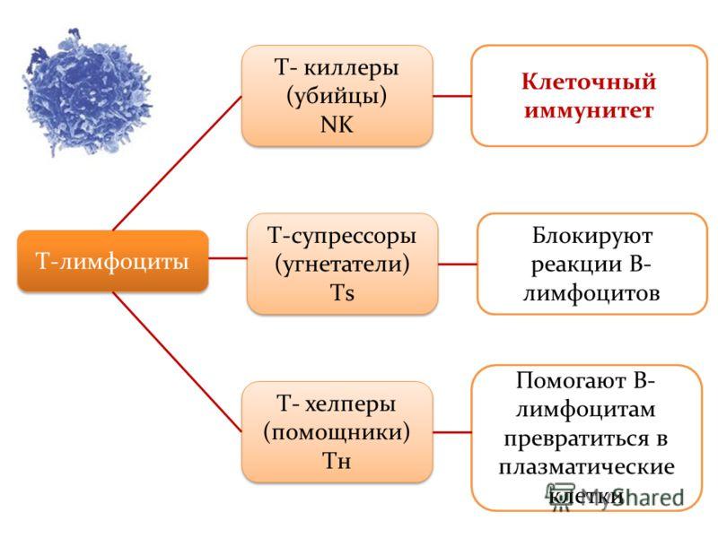 Т-лимфоциты Т- киллеры (убийцы) NK Т- киллеры (убийцы) NK Т-супрессоры (угнетатели) Тs Т-супрессоры (угнетатели) Тs Т- хелперы (помощники) Tн Т- хелперы (помощники) Tн Клеточный иммунитет Блокируют реакции В- лимфоцитов Помогают В- лимфоцитам преврат