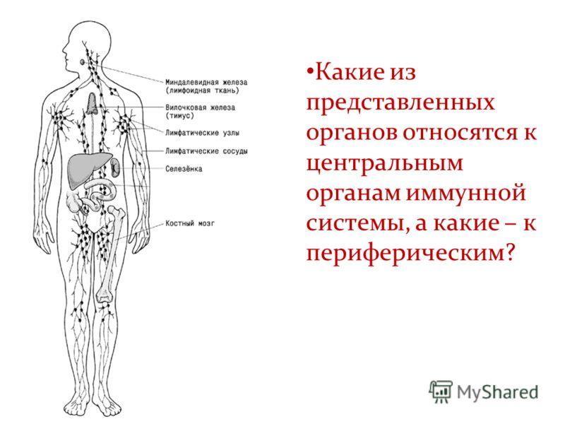 Какие из представленных органов относятся к центральным органам иммунной системы, а какие – к периферическим?