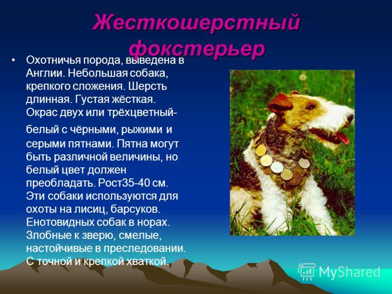 Жесткошерстный фокстерьер Охотничья порода, выведена в Англии. Небольшая собака, крепкого сложения. Шерсть длинная. Густая жёсткая. Окрас двух или трёхцветный- белый с чёрными, рыжими и серыми пятнами. Пятна могут быть различной величины, но белый цв