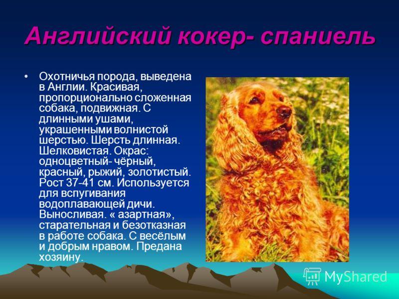 Английский кокер- спаниель Охотничья порода, выведена в Англии. Красивая, пропорционально сложенная собака, подвижная. С длинными ушами, украшенными волнистой шерстью. Шерсть длинная. Шелковистая. Окрас: одноцветный- чёрный, красный, рыжий, золотисты