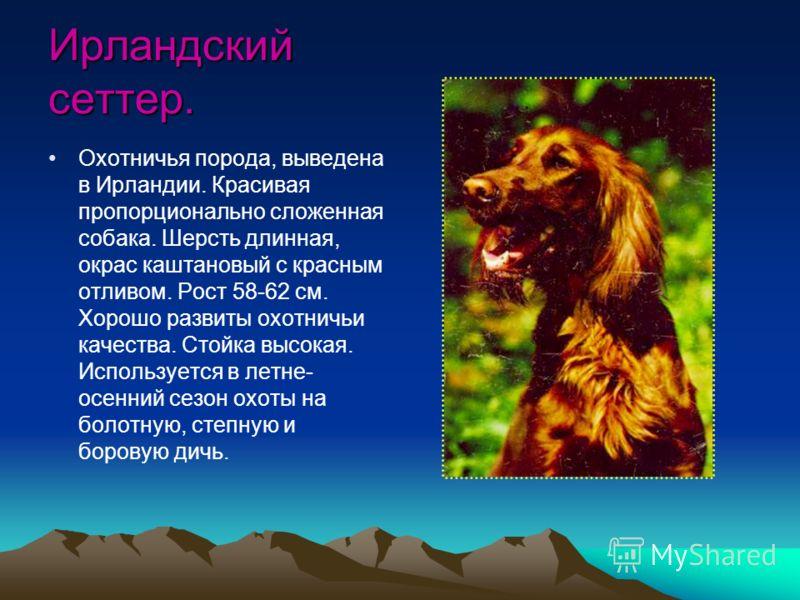 Ирландский сеттер. Охотничья порода, выведена в Ирландии. Красивая пропорционально сложенная собака. Шерсть длинная, окрас каштановый с красным отливом. Рост 58-62 см. Хорошо развиты охотничьи качества. Стойка высокая. Используется в летне- осенний с