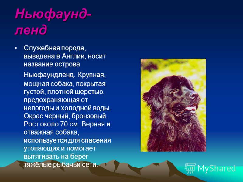 Ньюфаунд- ленд Служебная порода, выведена в Англии, носит название острова Ньюфаундленд. Крупная, мощная собака, покрытая густой, плотной шерстью, предохраняющая от непогоды и холодной воды. Окрас чёрный, бронзовый. Рост около 70 см. Верная и отважна