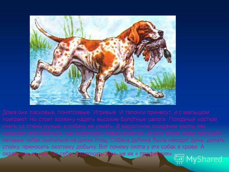 Пойнтер- легавая собака. Дома они ласковые, понятливые. Игривые. И тапочки принесут, и с малышом поиграют. Но стоит хозяину надеть высокие болотные сапоги. Походный костюм, снять со стены ружьё- и собаку не узнать. В радостном ожидании охоты пёс начи