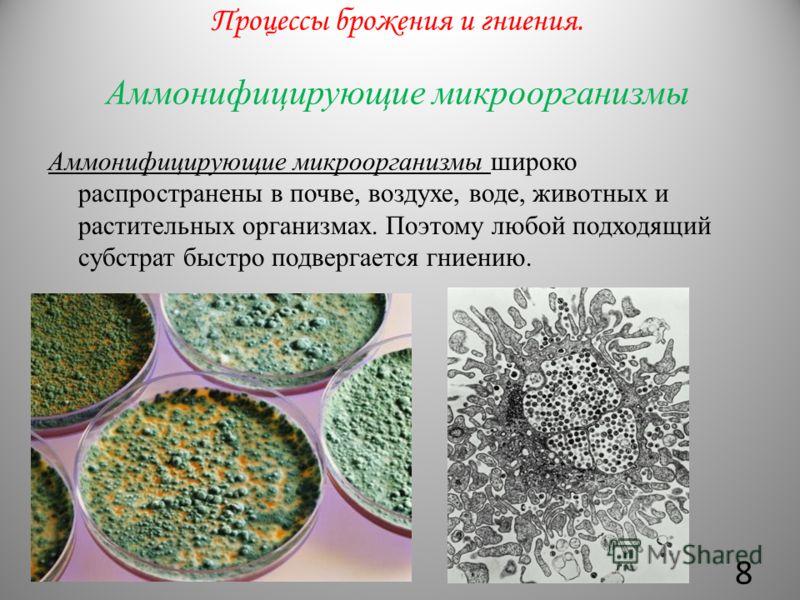 Аммонифицирующие микроорганизмы Аммонифицирующие микроорганизмы широко распространены в почве, воздухе, воде, животных и растительных организмах. Поэтому любой подходящий субстрат быстро подвергается гниению. Процессы брожения и гниения. 8