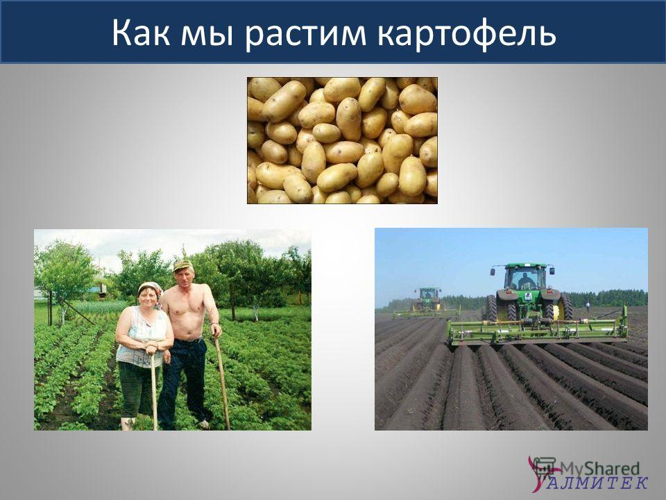 Как мы растим картофель