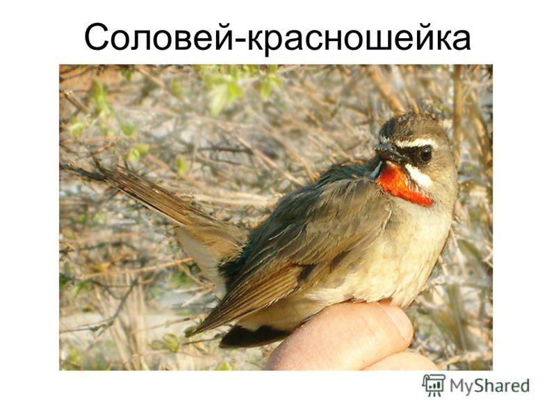 Соловей-красношейка