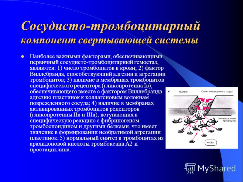 Сосудисто-тромбоцитарный компонент свертывающей системы Наиболее важными факторами, обеспечивающими первичный сосудисто-тромбоцитарный гемостаз, являются: 1) число тромбоцитов в крови; 2) фактор Виллебранда, способствующий адгезии и агрегации тромбоц