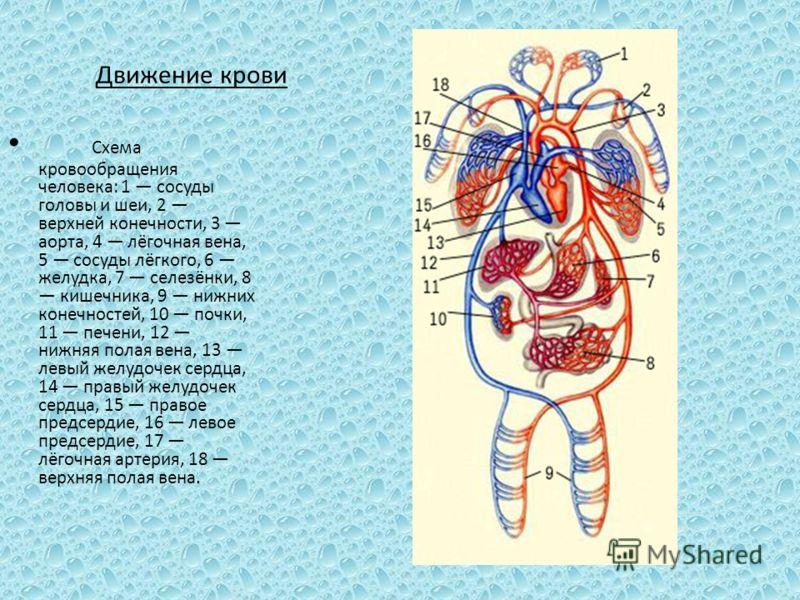 Движение крови Схема кровообращения человека: 1 сосуды головы и шеи, 2 верхней конечности, 3 аорта, 4 лёгочная вена, 5 сосуды лёгкого, 6 желудка, 7 селезёнки, 8 кишечника, 9 нижних конечностей, 10 почки, 11 печени, 12 нижняя полая вена, 13 левый желу