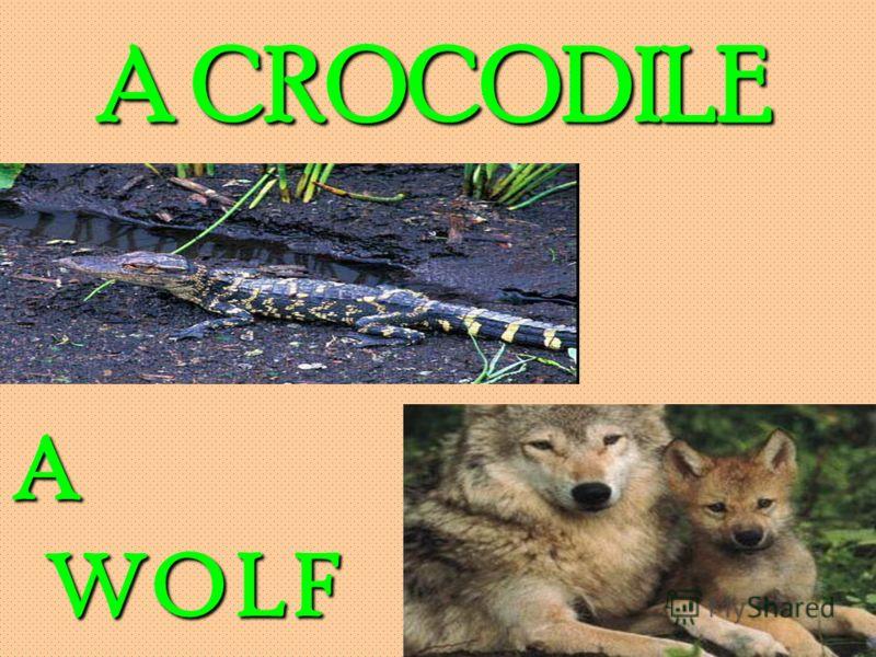 A CROCODILE A WOLF