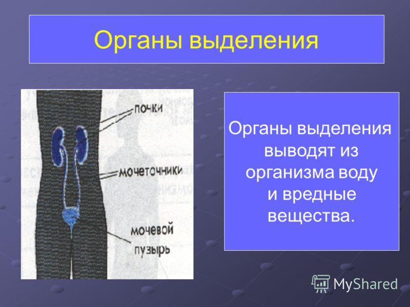 Органы выделения выводят из организма воду и вредные вещества.