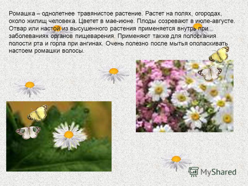 Ромашка – однолетнее травянистое растение. Растет на полях, огородах, около жилищ человека. Цветет в мае-июне. Плоды созревают в июле-августе. Отвар или настой из высушенного растения применяется внутрь при заболеваниях органов пищеварения. Применяют