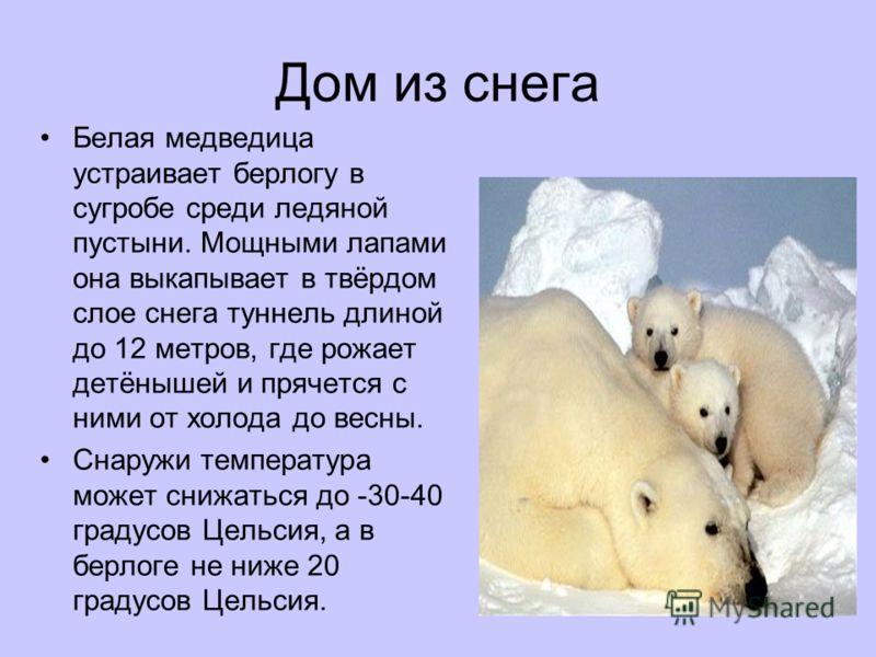 Дом из снега Белая медведица устраивает берлогу в сугробе среди ледяной пустыни. Мощными лапами она выкапывает в твёрдом слое снега туннель длиной до 12 метров, где рожает детёнышей и прячется с ними от холода до весны. Снаружи температура может сниж