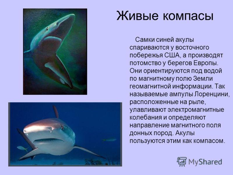 Живые компасы Самки синей акулы спариваются у восточного побережья США, а производят потомство у берегов Европы. Они ориентируются под водой по магнитному полю Земли геомагнитной информации. Так называемые ампулы Лоренцини, расположенные на рыле, ула
