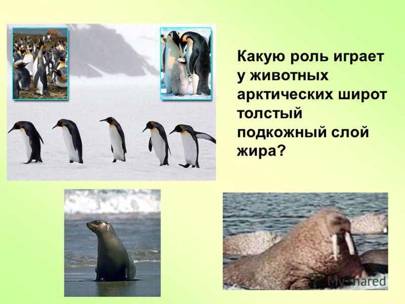 Какую роль играет у животных арктических широт толстый подкожный слой жира?