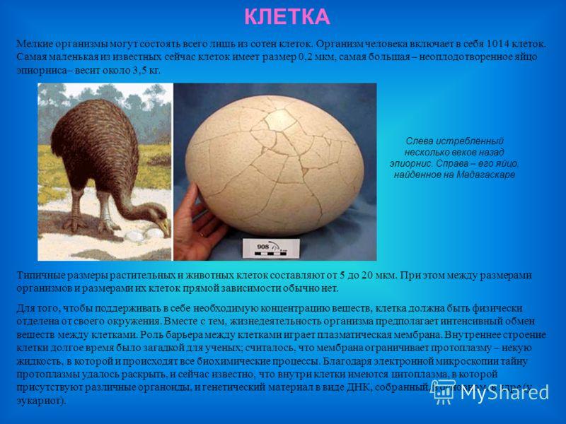 КЛЕТКА Слева истреблённый несколько веков назад эпиорнис. Справа – его яйцо, найденное на Мадагаскаре Мелкие организмы могут состоять всего лишь из сотен клеток. Организм человека включает в себя 1014 клеток. Самая маленькая из известных сейчас клето
