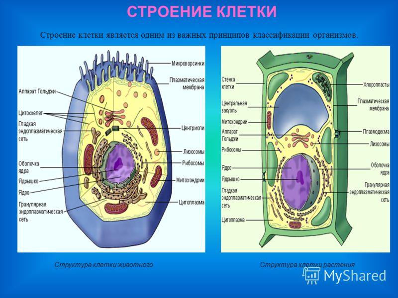 Урок биологии 8 класс строение клетки