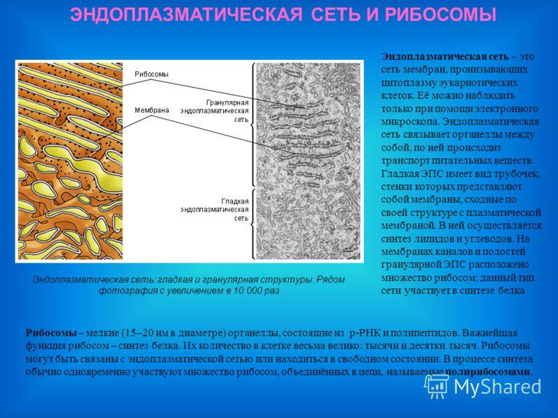 ЭНДОПЛАЗМАТИЧЕСКАЯ СЕТЬ И РИБОСОМЫ Эндоплазматическая сеть: гладкая и гранулярная структуры. Рядом фотография с увеличением в 10 000 раз Эндоплазматическая сеть – это сеть мембран, пронизывающих цитоплазму эукариотических клеток. Её можно наблюдать т