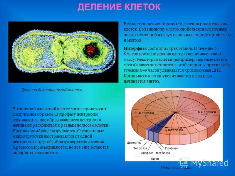 ДЕЛЕНИЕ КЛЕТОК Деление бактериальной клетки Все клетки появляются путём деления родительских клеток. Большинству клеток свойственен клеточный цикл, состоящий из двух основных стадий: интерфазы и митоза. Интерфаза состоит из трех этапов. В течение 4–