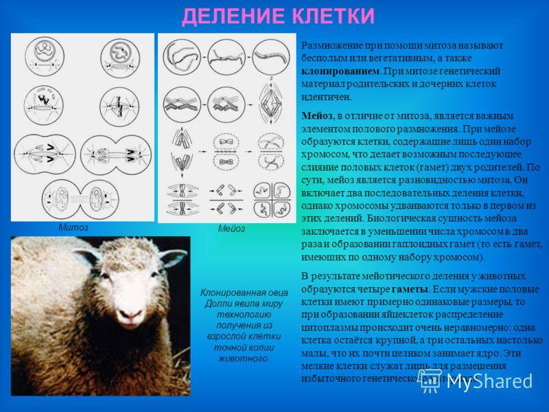 ДЕЛЕНИЕ КЛЕТКИ Митоз Мейоз Клонированная овца Долли явила миру технологию получения из взрослой клетки точной копии животного. Размножение при помощи митоза называют бесполым или вегетативным, а также клонированием. При митозе генетический материал р