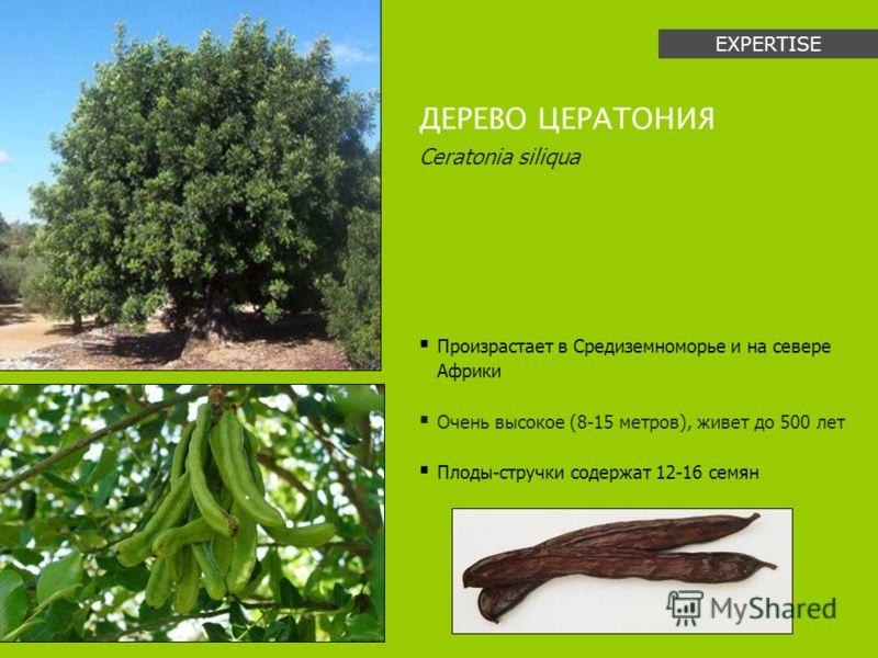Произрастает в Средиземноморье и на севере Африки Очень высокое (8-15 метров), живет до 500 лет Плоды-стручки содержат 12-16 семян ДЕРЕВО ЦЕРАТОНИЯ Ceratonia siliqua EXPERTISE