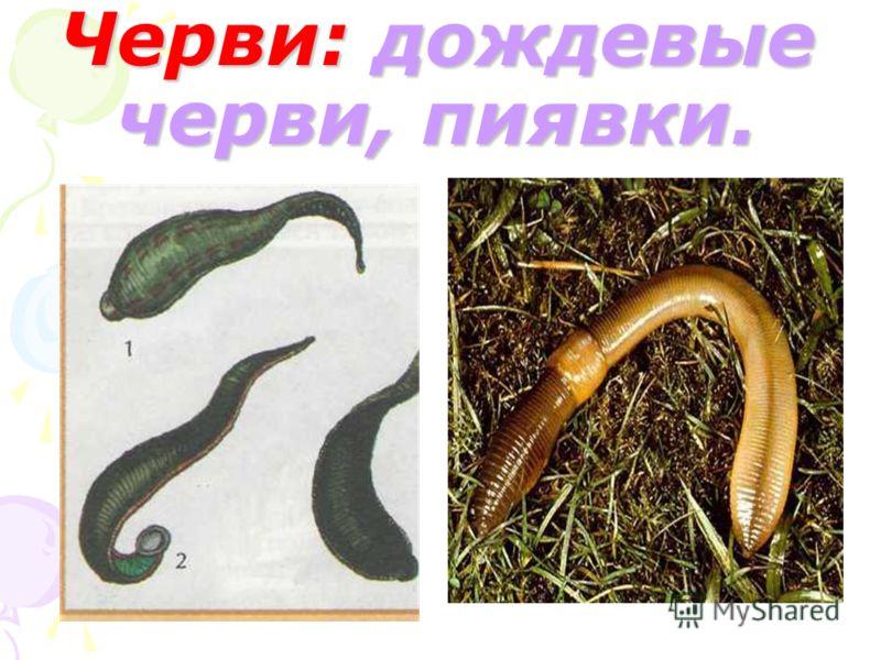 Черви: дождевые черви, пиявки.