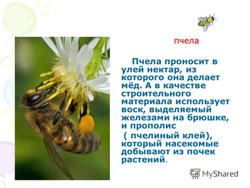 пчела Пчела проносит в улей нектар, из которого она делает мёд. А в качестве строительного материала использует воск, выделяемый железами на брюшке, и прополис ( пчелиный клей), который насекомые добывают из почек растений.