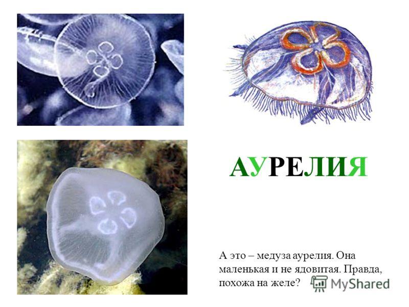 На море мы обязательно встретим медуз. Это – медуза корнерот, самая крупная черноморская медуза. Диаметр ее купола может достигать полуметра. Корнерот больно жжется своими щупальцами. Его ожог похож на ожог крапивой. Но бояться и, тем более, убивать