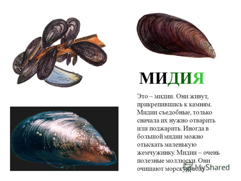 В море живет множество моллюсков. Посмотри, какие красивые у них раковины. Давай познакомимся с ними поближе.