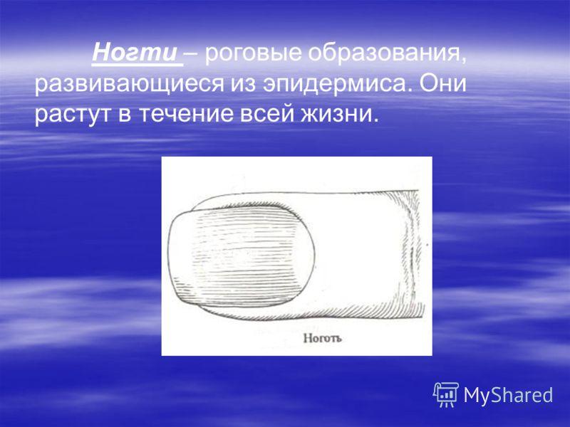 Ногти – роговые образования, развивающиеся из эпидермиса. Они растут в течение всей жизни.