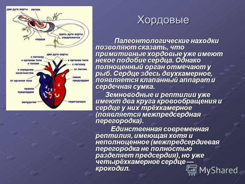 Хордовые Палеонтологические находки позволяют сказать, что примитивные хордовые уже имеют некое подобие сердца. Однако полноценный орган отмечают у рыб. Сердце здесь двухкамерное, появляется клапанный аппарат и сердечная сумка. Палеонтологические нах