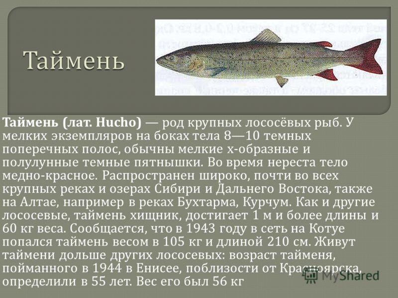 Таймень ( лат. Hucho) род крупных лососёвых рыб. У мелких экземпляров на боках тела 810 темных поперечных полос, обычны мелкие х - образные и полулунные темные пятнышки. Во время нереста тело медно - красное. Распространен широко, почти во всех крупн