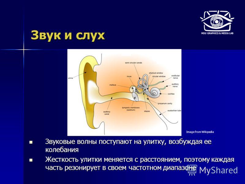 Звук и слух Звуковые волны поступают на улитку, возбуждая ее колебания Звуковые волны поступают на улитку, возбуждая ее колебания Жесткость улитки меняется с расстоянием, поэтому каждая часть резонирует в своем частотном диапазоне Жесткость улитки ме