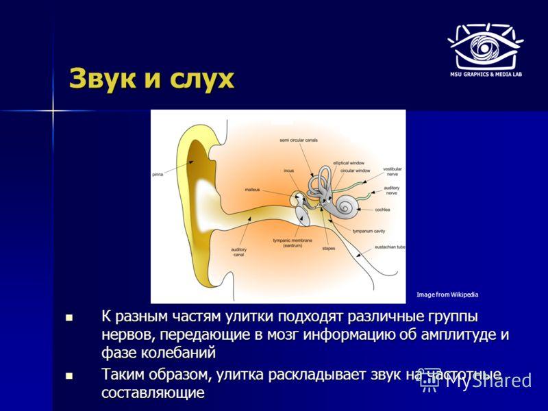 Звук и слух К разным частям улитки подходят различные группы нервов, передающие в мозг информацию об амплитуде и фазе колебаний К разным частям улитки подходят различные группы нервов, передающие в мозг информацию об амплитуде и фазе колебаний Таким