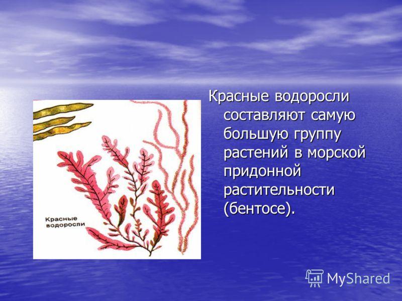Красные водоросли составляют самую большую группу растений в морской придонной растительности (бентосе).