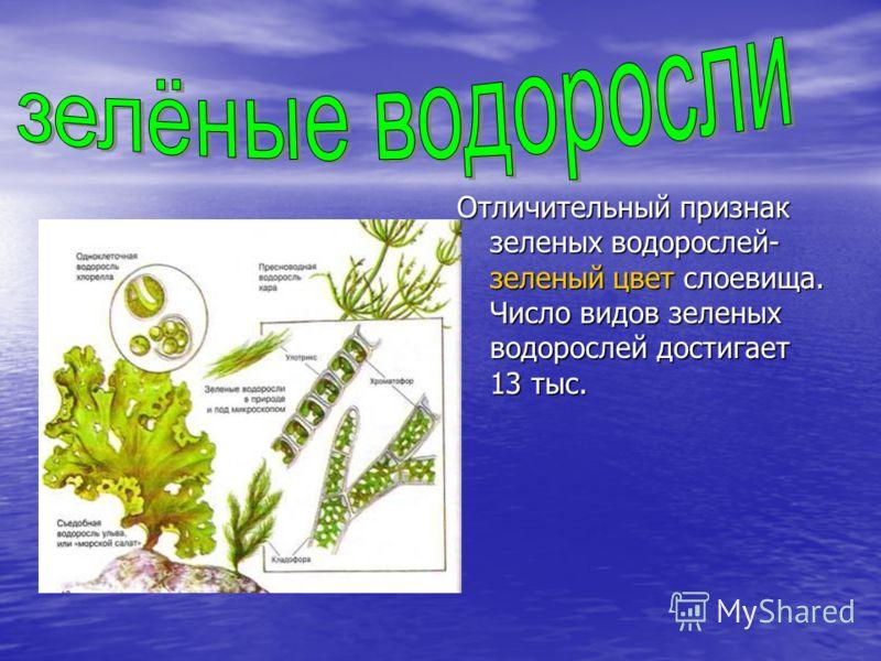 Отличительный признак зеленых водорослей- зеленый цвет слоевища. Число видов зеленых водорослей достигает 13 тыс.