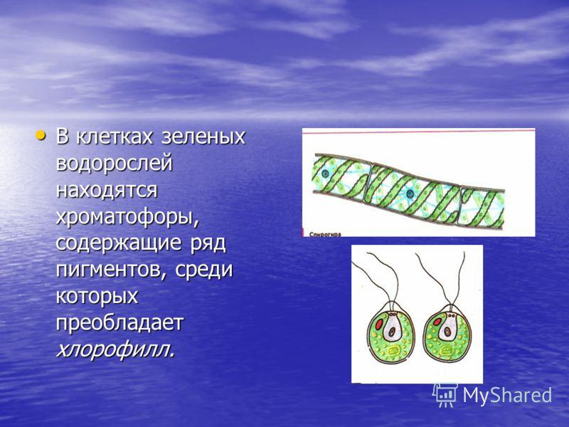 В клетках зеленых водорослей находятся хроматофоры, содержащие ряд пигментов, среди которых преобладает хлорофилл. В клетках зеленых водорослей находятся хроматофоры, содержащие ряд пигментов, среди которых преобладает хлорофилл.