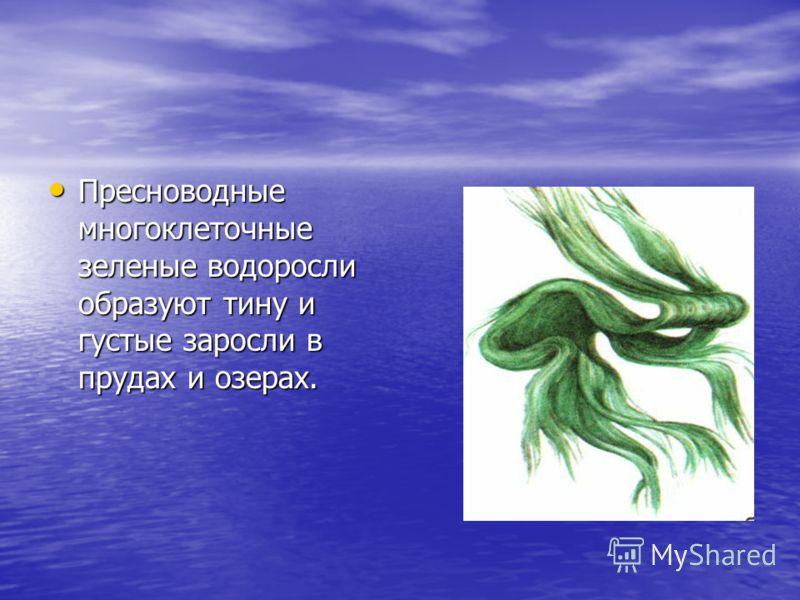 Пресноводные многоклеточные зеленые водоросли образуют тину и густые заросли в прудах и озерах. Пресноводные многоклеточные зеленые водоросли образуют тину и густые заросли в прудах и озерах.
