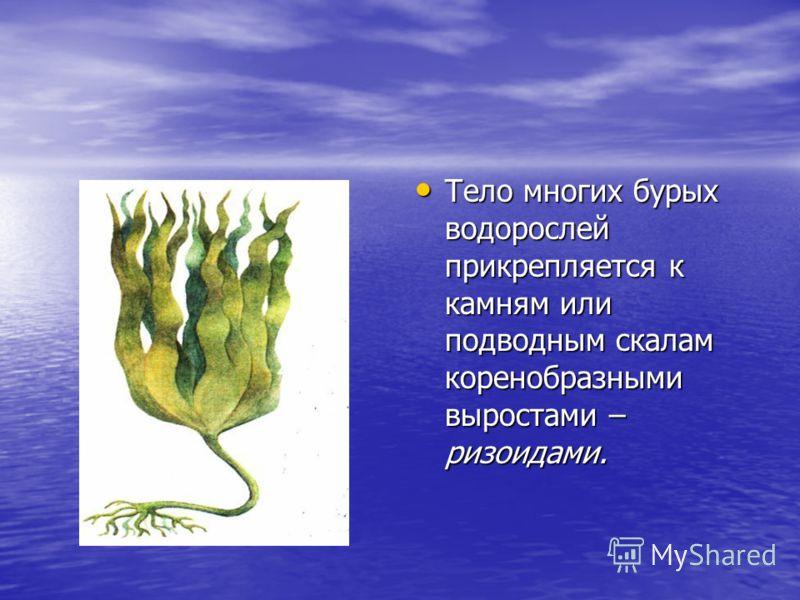 Тело многих бурых водорослей прикрепляется к камням или подводным скалам коренобразными выростами – ризоидами. Тело многих бурых водорослей прикрепляется к камням или подводным скалам коренобразными выростами – ризоидами.