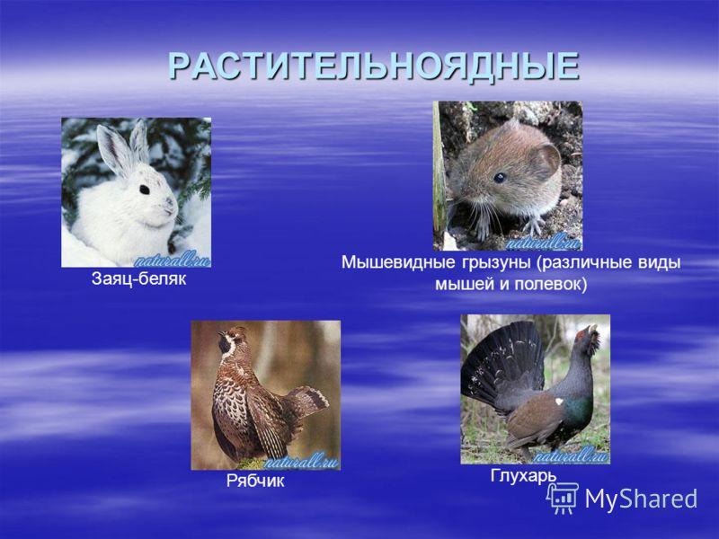 РАСТИТЕЛЬНОЯДНЫЕ Заяц-беляк Мышевидные грызуны (различные виды мышей и полевок) Рябчик Глухарь