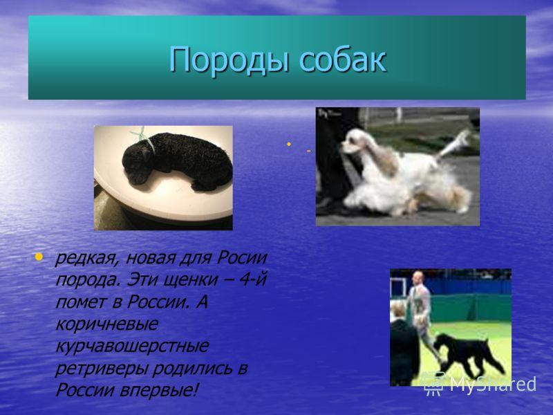 Породы собак редкая, новая для Росии порода. Эти щенки – 4-й помет в России. А коричневые курчавошерстные ретриверы родились в России впервые!