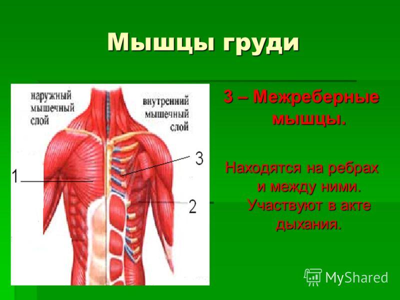 Мышцы груди 3 – Межреберные мышцы. Находятся на ребрах и между ними. Участвуют в акте дыхания.
