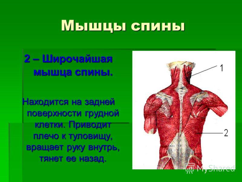 Мышцы спины 2 – Широчайшая мышца спины. Находится на задней поверхности грудной клетки. Приводит плечо к туловищу, вращает руку внутрь, тянет ее назад.