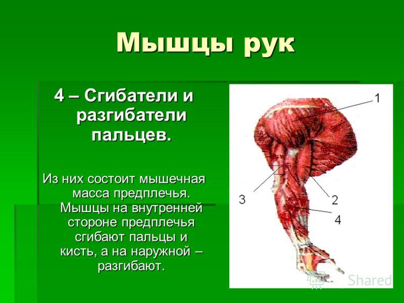 Мышцы рук 4 – Сгибатели и разгибатели пальцев. Из них состоит мышечная масса предплечья. Мышцы на внутренней стороне предплечья сгибают пальцы и кисть, а на наружной – разгибают.