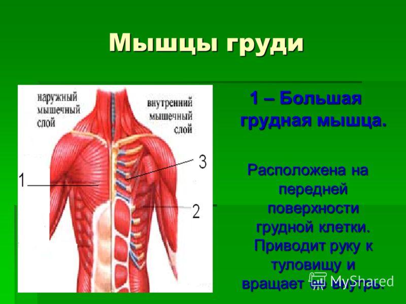 Мышцы груди 1 – Большая грудная мышца. Расположена на передней поверхности грудной клетки. Приводит руку к туловищу и вращает ее внутрь. Расположена на передней поверхности грудной клетки. Приводит руку к туловищу и вращает ее внутрь.