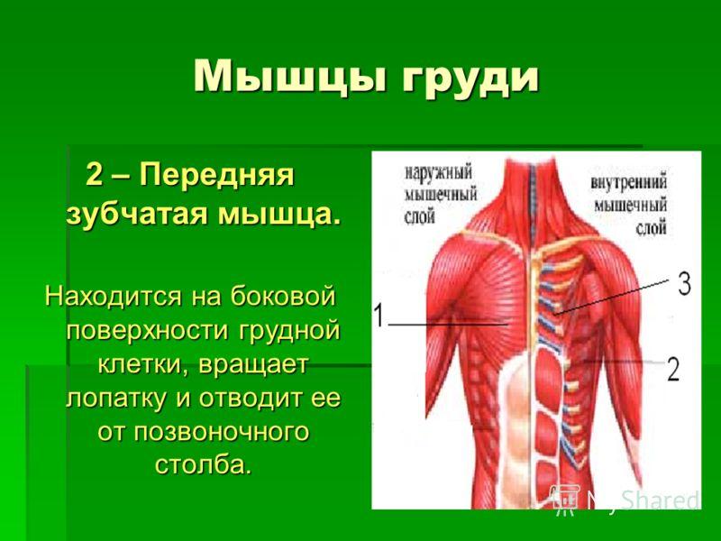 Мышцы груди 2 – Передняя зубчатая мышца. Находится на боковой поверхности грудной клетки, вращает лопатку и отводит ее от позвоночного столба.