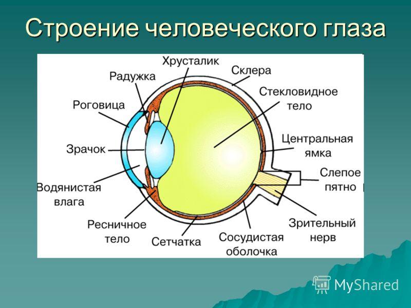 Строение человеческого глаза