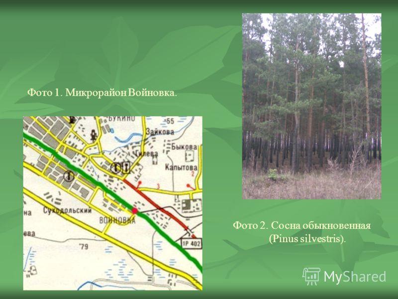Фото 2. Сосна обыкновенная (Pinus silvestris ). Фото 1. Микрорайон Войновка.