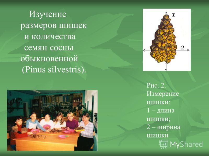 Изучение размеров шишек и количества семян сосны обыкновенной (Pinus silvestris). Рис. 2. Измерение шишки: 1 – длина шишки; 2 – ширина шишки