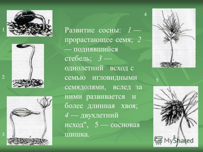 Развитие сосны: 1 прорастающее семя; 2 поднявшийся стебель; 3 однолетний всход с семью игловидными семядолями, вслед за ними развивается и более длинная хвоя; 4 двухлетний исход, 5 сосновая шишка. 1 2 3 4 5